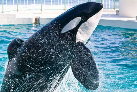 22 captive orcas in Sea World; killer whales trapped and miserable